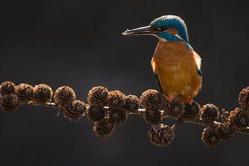 IJsvogel op sparrentak in het Gooi van Jeroen Stel