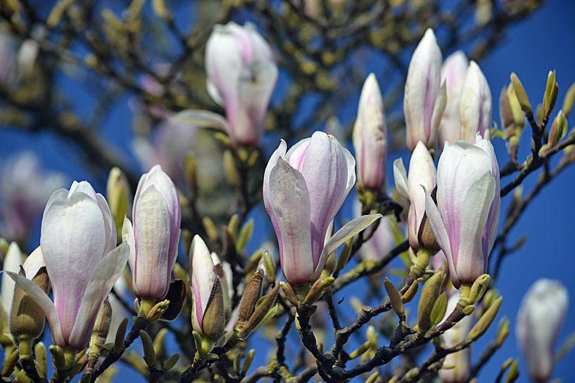 Bloeiende magnolia van JTravel