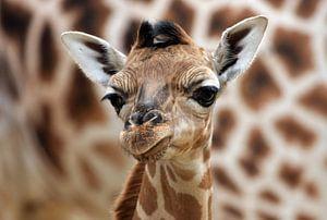 Giraffenjunges van