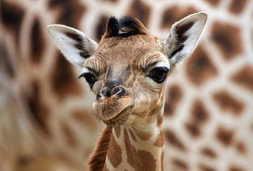 Giraffenjunges von Marcel Schauer