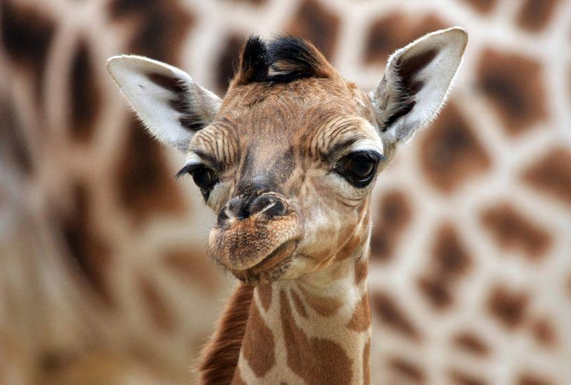 Giraffenjunges van Marcel Schauer