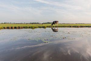 koe in de polder
