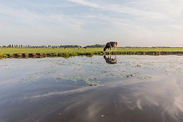 koe in de polder van Contrast inBeeld