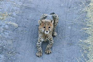 Junger Gepard in Nambia von Merijn Loch