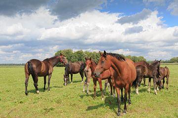 Een kudde paarden met veulens in een Drents weidelandschap van