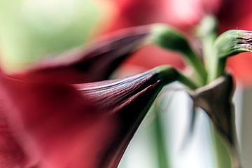 Blume I - Amaryllis van Michael Schulz-Dostal