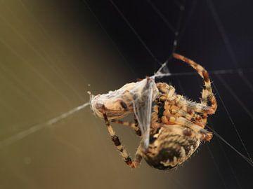Kruisspin met prooi in web van Carin van der Aa