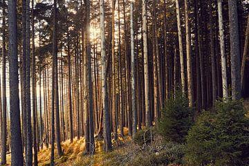 goldiges Sonnenlicht im Wald von Christian Buhtz