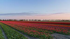 Tulpenveld van Captured By Manon