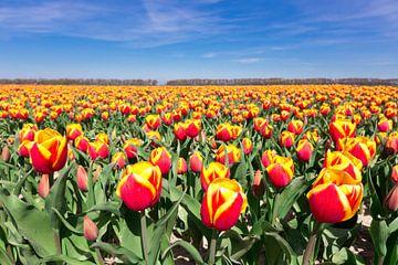 Niederländische Tulpenfeld mit roten und gelben Blumen und blauer Himme von Ben Schonewille