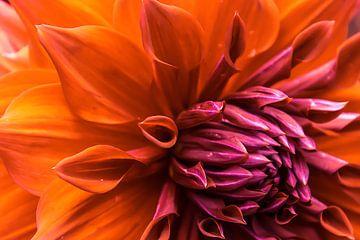 Prachtige kleurrijke dahlia van Stedom Fotografie