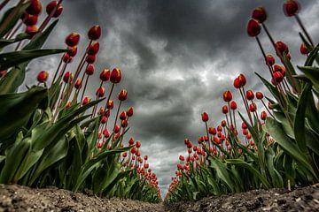 Tulpen im Sturm von Robin van Maanen