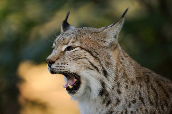 Eurasian Lynx (Lynx lynx), close-up, headshot