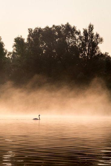 Zwaan met mist in de Biesbosch