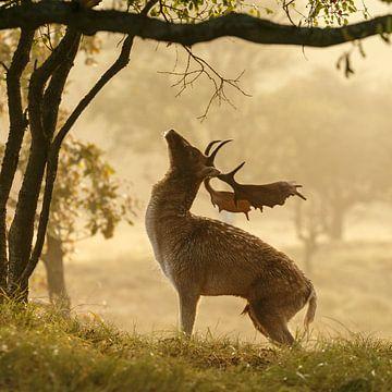 Fallow deer von Menno Schaefer
