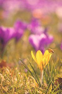 Eine Biene und ein Krokus