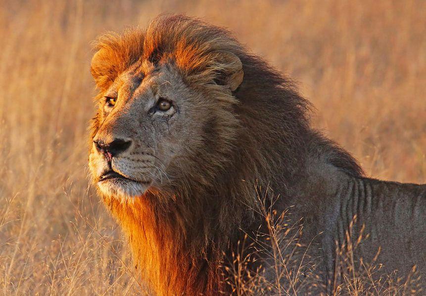 Lion in the morning light - Africa wildlife van W. Woyke