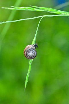 Kleine slak op het grassprietje van Claudia Evans