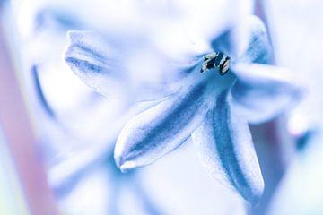 Blüte der Gewöhnlichen Hyazinthe von Fotografiecor .nl