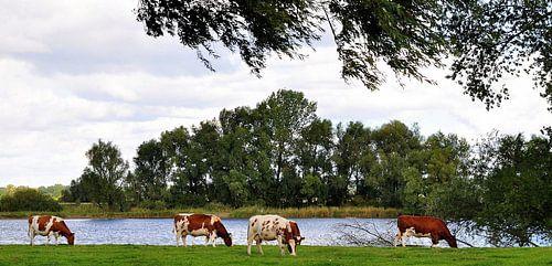 koeien aan de waterkant.