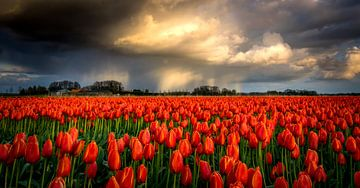 La pluie sur les tulipes rouges sur Erik Keuker