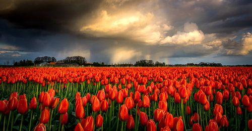 Regenbui boven rode tulpen van