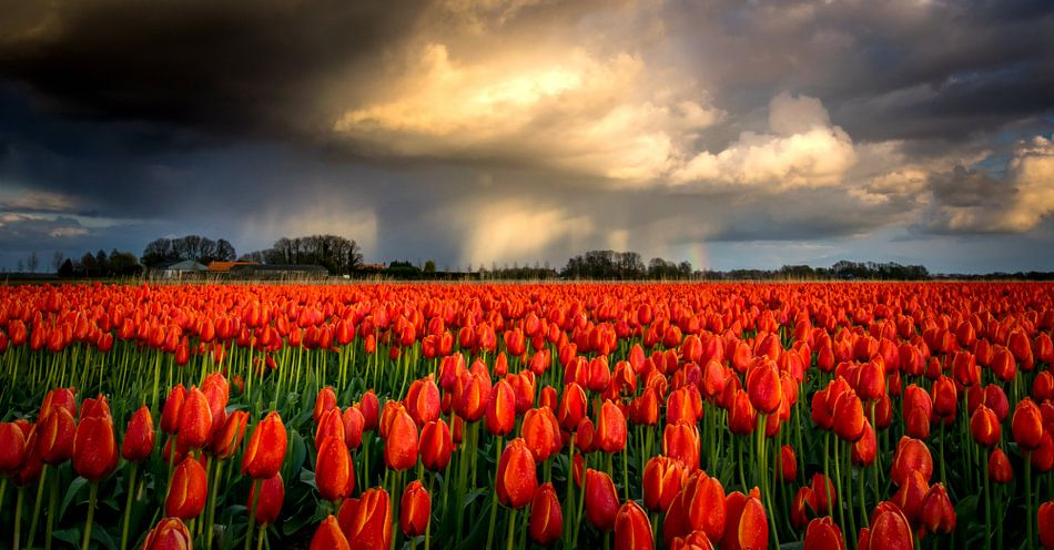 Regenbui boven rode tulpen van Erik Keuker