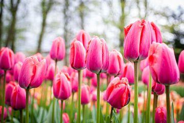 Roze tulpen met gele tulpen en bomen in de achtergrond van Simone Janssen