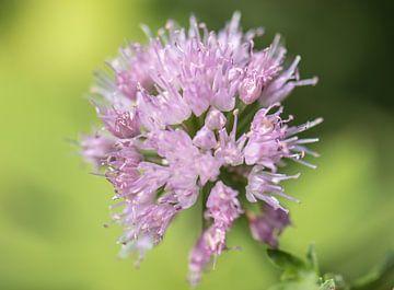 splendeur estivale lilas sur Tania Perneel