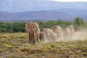 Olfanten bij zonsondergang van