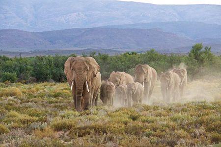 Olfanten bij zonsondergang