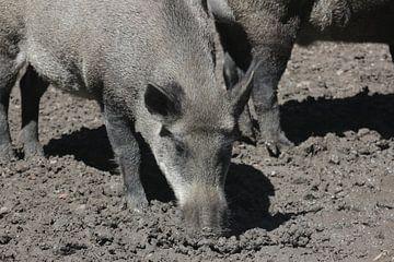 Wild zwijn in de modder van Menno Pebesma