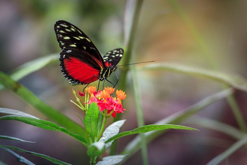 Rode Heliconius Hecale Vlinder van Tim Abeln