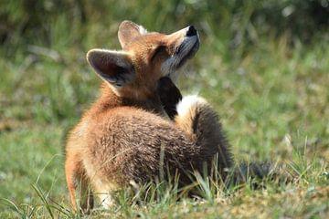 Krabbende jonge vos van Sylvia van der Hoek