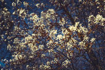 Bloesems wit 08 van FotoDennis.com