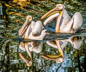 Twee Pelikanen weerspiegeld van
