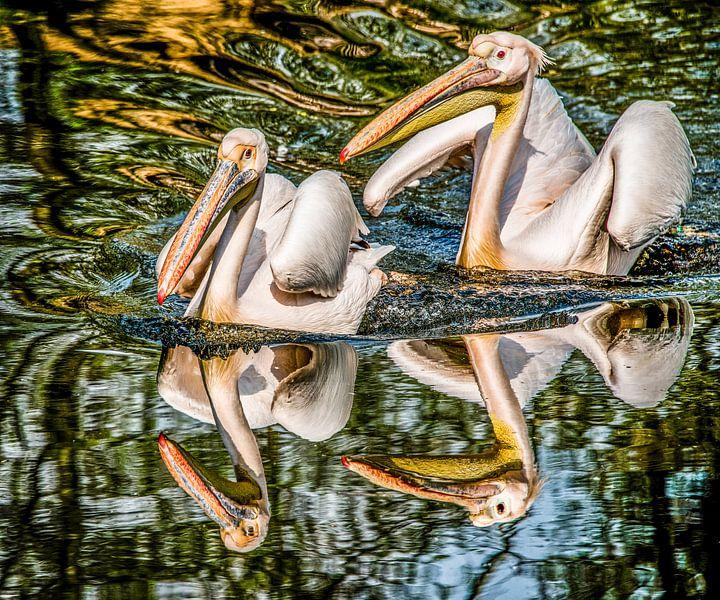Twee Pelikanen weerspiegeld van Harrie Muis