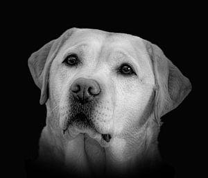 Portret labrador in zwart-wit van Marjolein van Middelkoop