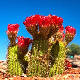 Rood bloeiende cactus in de  Namib woestijn van Rietje Bulthuis
