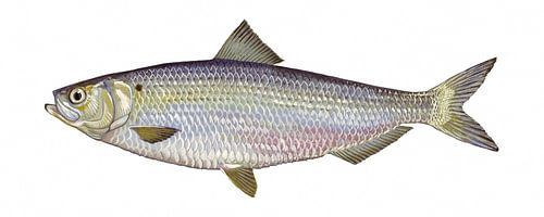 Alosa aestivalis (Blueback herring) van