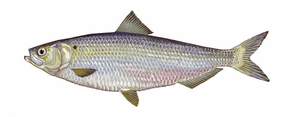 Alosa aestivalis (Blueback herring) van Fish and Wildlife