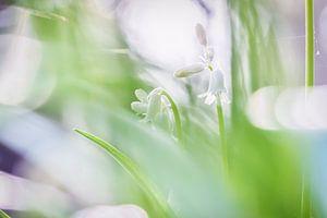 Verborgen hyacinten