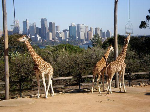 Giraffen in de stad van