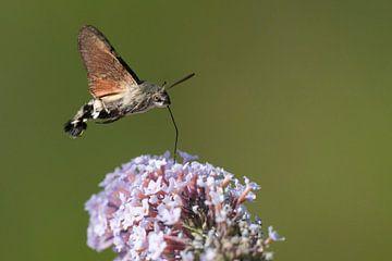 Zwevende Kolibrievlinder zuigt nectar uit de bloem van Sering van