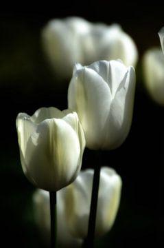 Witte tulpen I van Jessica Berendsen