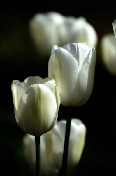 Witte tulpen I