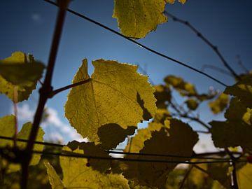 Nahaufnahme einer Weinrebe mit gelb verfärbten Blättern im Herbst von Timon Schneider