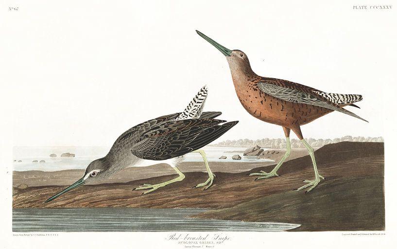 Kleine Grijze Snip van Birds of America