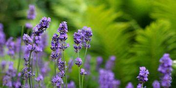Lavendelzauber van Ostsee Bilder