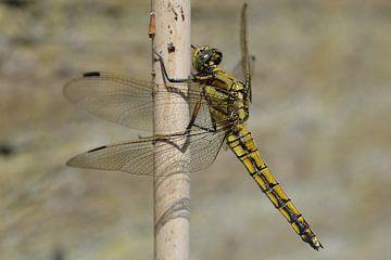 Dragonfly (Libelle) van